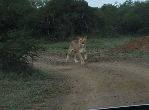 Our first sight of the lioness as she chased after the impala