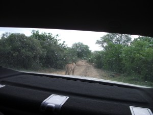 The lioness behind our car as she searched for signs of the impala.